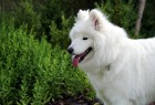 Happy white samoyed puppy in the garden