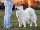 Samoyed dog at practice with her master